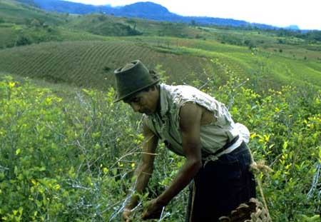 cocaine farming